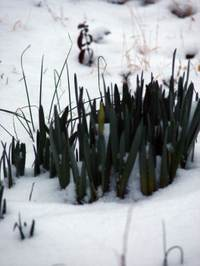 Snowgrass